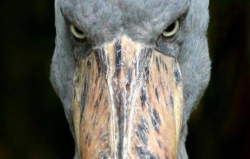 Shoebill stork balaeniceps rex