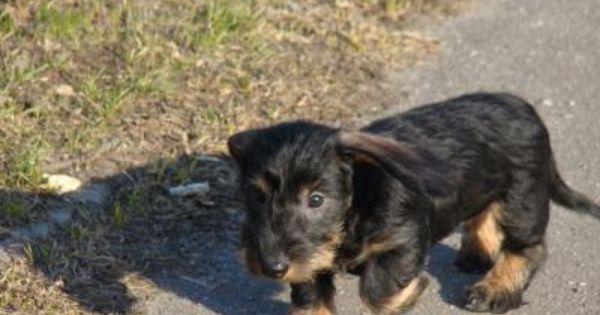 Kaninchen Dachshund Teckel Rauhhaar Bremen Borgfeld Dackel Baby Dackel Schnauzer Hunde