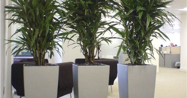 Cool dracaena plants in silver cubico lechuza planters Best small office plants