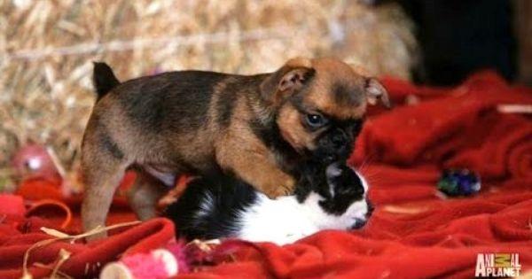 Too Cute Grumpy Humphrey The Puppy Loves Kittens Cute Boxer Puppies Cute Animal Videos Dog Friends