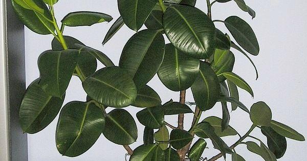 Ficus elastica robusta rubber plant ficus elastica for Caoutchouc plante exterieur