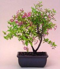 Barbados Cherry Bonsai Tree Malpighia Pendiculata Bonsai Tree Bonsai Trees For Sale Cherry Bonsai