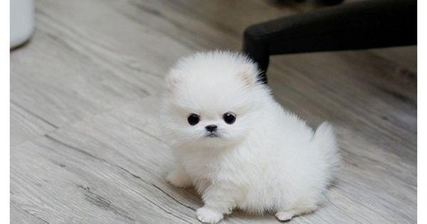 yndudbd m f tea cup pomeranian puppies for sale puppies