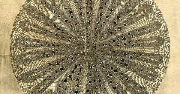 Nehemiah Grew ~ Phytological History, 1673 (mandala)