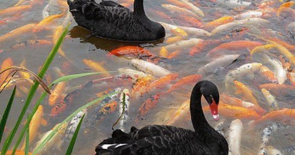 Black swans in koi pond i wonder if the swan 39 s feet are for All black koi fish