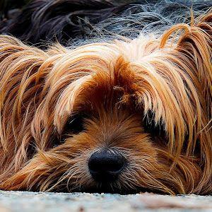 Kaseleckerchen Selbst Gemacht Dinky Predators Hund Anschaffen