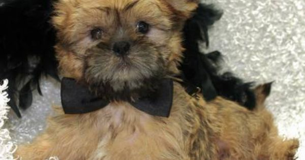 Shiffon Puppies Brussels Griffon Amp Shih Tzu Mix Cute Animals