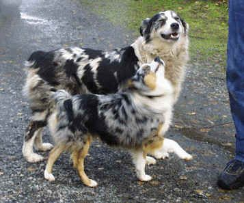 Mini Vs Full Size Toy Aussie Australian Shepherd Blue Merle Aussie Dogs