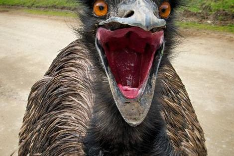 An Emu On The Attack - | Birds of a Feather... | Pinterest ...