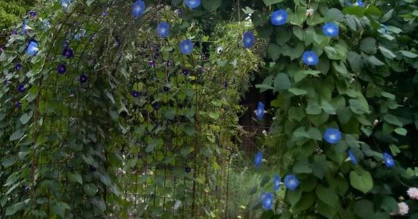 'Heavenly Blue' Morning Glory vines over an arbor