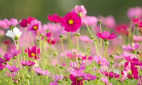 Cosmos Information Mexican Aster Information Orange Cosmos Information Yellow Cosmos Information C Cosmos Flowers Flowers Perennials Beautiful Pink Flowers