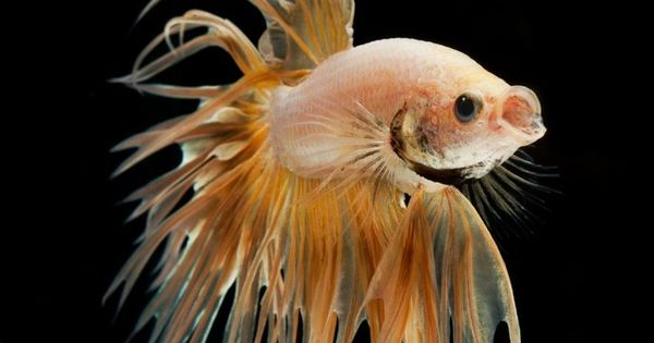 Gold betta fish marine life pinterest betta fish for Betta fish life