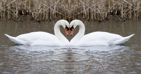 Swans bond with each other for life, sharing a nest, raising newborns