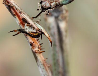 Heterohaeta - world's largest mantis | igor siwanowicz