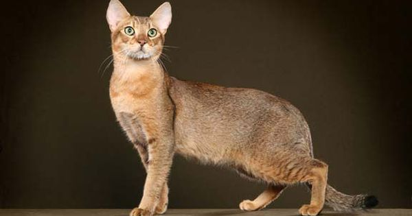 Chausie Stone Cougar Beautiful And Unique Cat Breeds