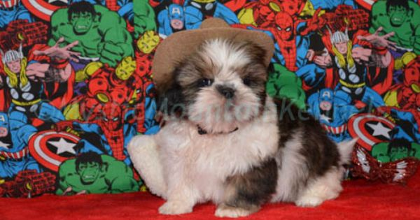 Puppies For Sale Teacup Tiny Yorkies Imperial Shih Tzu Tennessee Shih Tzu Puppy Yorkshire Terrier Teacup Yorkie Puppy