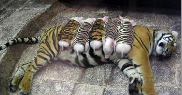 A mother tiger lost her cubs due to premature labour. Shortly after, she became depressed and her health declined. She was later diagnosed with depression. Since tigers are endangered, every effort was made to secure her health. Zoologists wrapped piglets...