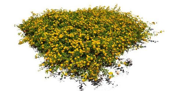 10 Free Plants Flowers Png Images At Dzzyn Com Yellow Flowers Bush Bluhende Pflanzen Gelbe Blumen Landschaftsdesign