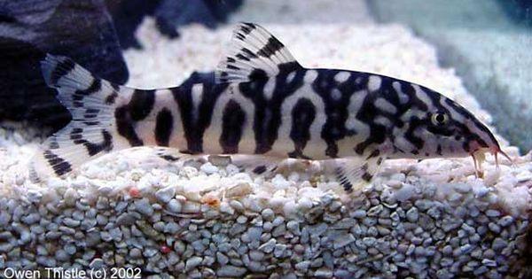 Pakistani Yoyo Loach Botia Lohachata Almorhae Tropical Fish Tanks Fresh Water Fish Tank Aquarium Fish