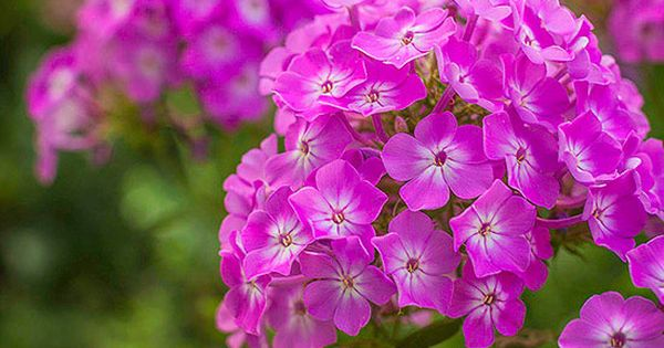 Phlox paniculata. Summer. Fragrant and easy care, phlox are one of summer's