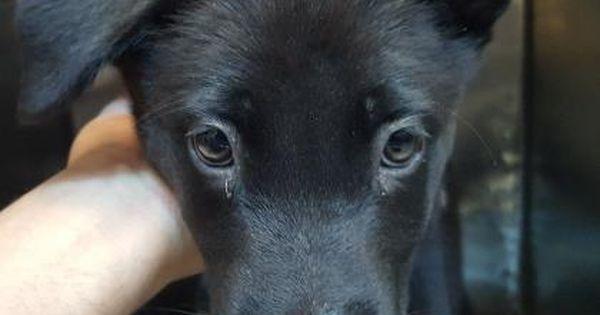 Animal Idt35753374 Rnspeciestdog Rnbreedtgerman Shepherd Mix Rnaget4 Months 1 Day Rngendertfemale Rnsizetsmall In 2020 Cute Dogs And Puppies Dog Pounds Puppy Adoption