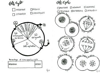 Cell Cycle and Mitosis coloring sheet | Cell cycle, Science ...