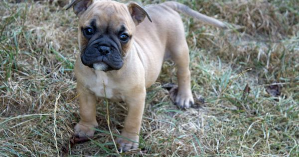 Ap Night A Very Cute And Tiny Beauty A Daughter Of Our Ap Rokkett Englische Bulldogge Continental Bulldog Bulldogge