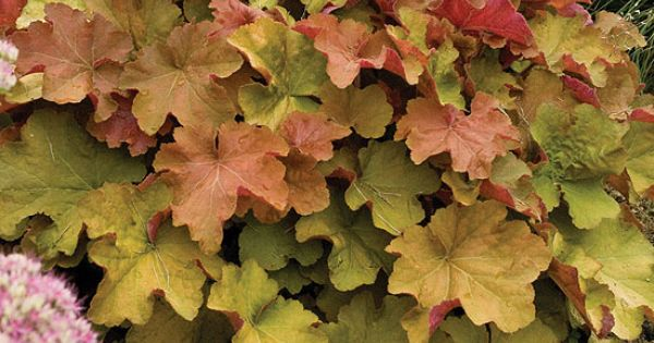 'Caramel' heuchera. For my coral bells wish list! Color would be perfect