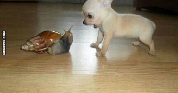 Cutest Little Chihuahua Barking At A Snail Cute Animals