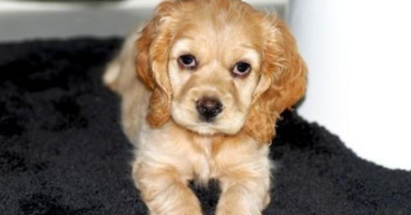 Cocker Spaniels Puppies Spaniel Puppies For Sale Spaniel