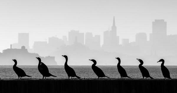 The Cormorant Overlook San Francisco By Mary Sheft