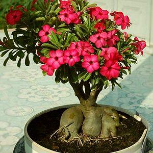 Buy Flowering Plants Online At Nurserylive Largest Plant Nursery In India Desert Rose Plant Adenium Planting Flowers