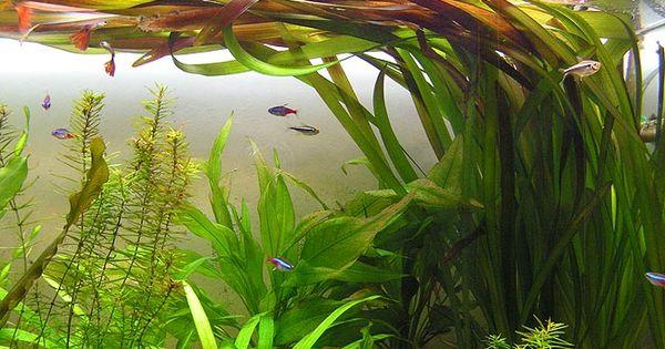 Vallisneria Gigantea Amazon Blackwater Biotope Pinterest Aquascaping And Aquariums