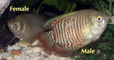 Dwarf Gourami Care Guide Freshwater Fish Tropical Fish Fish Tank Coolest Freshwater Fish Pet Shop Aquarium Best Freshwate Female Dwarf Best Aquarium Fish Fish