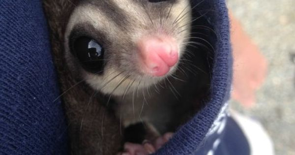 """Cute sugar glider in a pocket! He says """"please don't ..."""