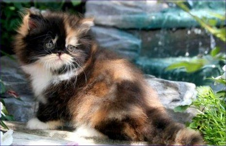 Classic Calico Teacup Persian Kitten In 2020 Persian Kittens Persian Cat Doll Face Himalayan Kitten
