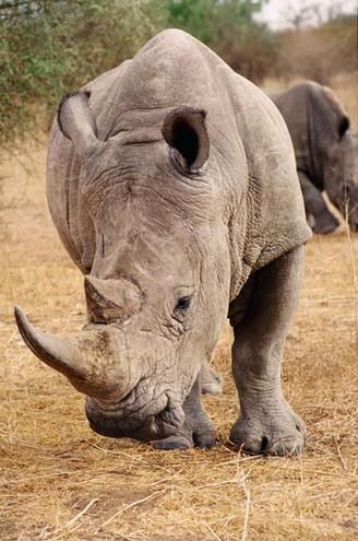 White Rhino in Kruger National Park. I am sad they are so critically endangered.
