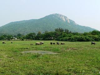 Feral buffalo near Pui O on Lantau Island