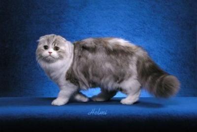 Scottish Fold: Kitty Cat, Cat And Kittens, Long Hair, Savannah Cat, Kittens Photo, Funny Pet, Scottish Folding Cat, Dreams Coming True, Cat Lady