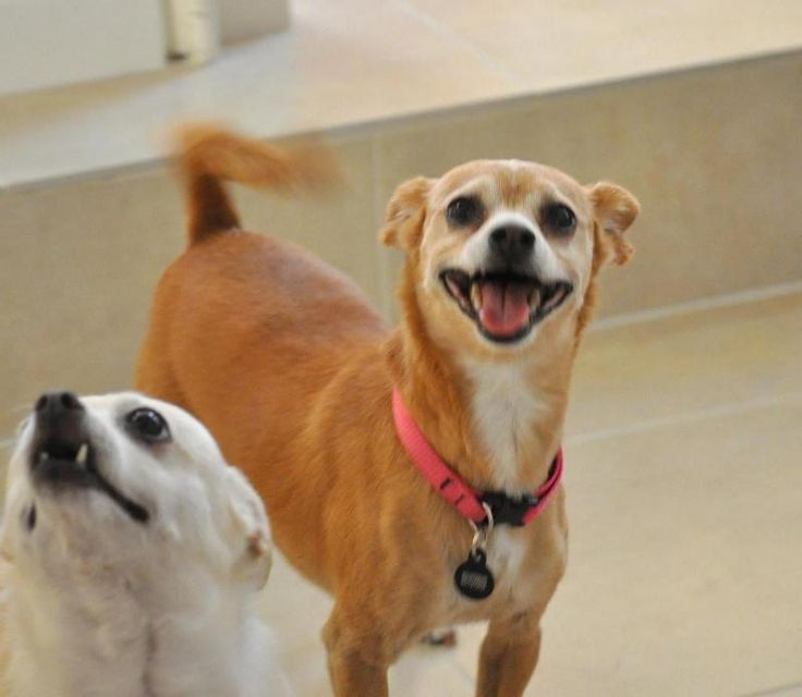 Ginger- great walking partner! is an adoptable Chihuahua searching for a forever family near Long Beach, CA. Use Petfinder to find adoptable pets in your area.
