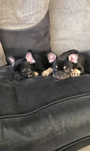 we have both male and female available,they are 12 weeks old and are with good temperament with little children and frie