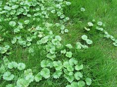 HOW TO KILL Creeping Charlie (Glechoma hederacea): It is a perennial ground cover that has been a thorn in the side of homeowners and professional lawn care companies alike for many years. In Minnesota, you can find it growing in full shade, partial shade, and even in the full...