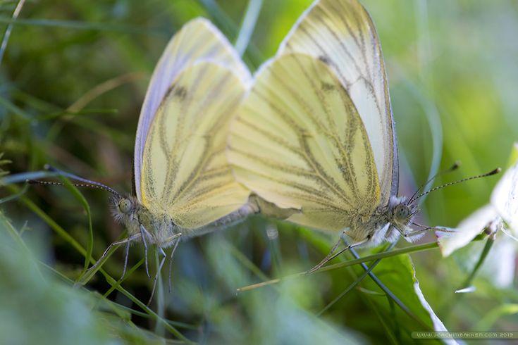 Butterflies mating.