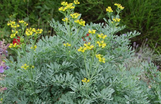 Rue- Ruta graveolens. Silver blue leaves, yellow summer flowers. Toxic sap! Evergreen dome shape 1m x 1m. Anti-inflammatory, antiviral and antibacterial. Used for pest control and to ward off plague.