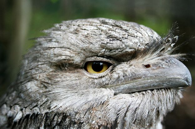 Introducing The Frogmouth:  adorable expressive birds.  Not to be confused with owl, it is a nocturnal bird native to Southeast Asia and Australia.