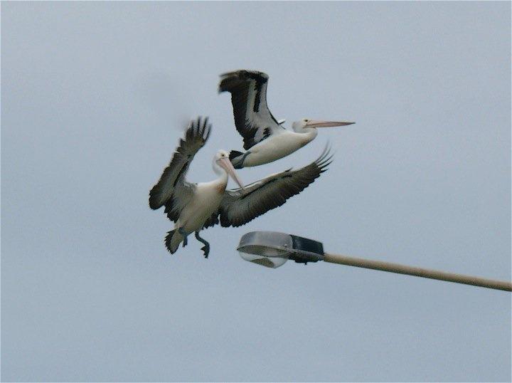 Classic pelican spot, top of a lamppost.