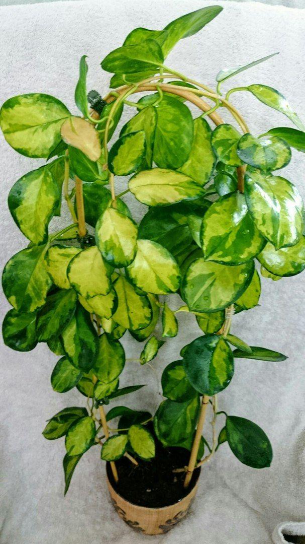 Маргарита Хачатрян Hoya Australis Lisa Crush Pinterest Plants And House