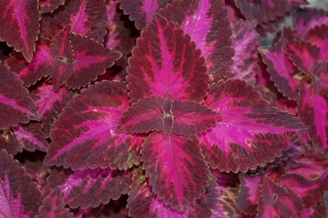"""Coleus Signature™ Grape Expectations-  Fresh grape purple leaves are an eye-catching traffic stopper!      Sun or shade, this is a beautiful addition to pots or landscape.      Super with chartreuse contrasting leaves and hot pink flowers. Plant details:   Annual  Height: Up to  18"""" Spread Up to  12"""""""