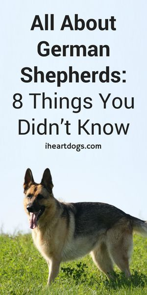 Did you know these 8 fun facts about GSD's? (scheduled via http://www.tailwindapp.com?utm_source=pinterest&utm_medium=twpin&utm_content=post92982549&utm_campaign=scheduler_attribution)