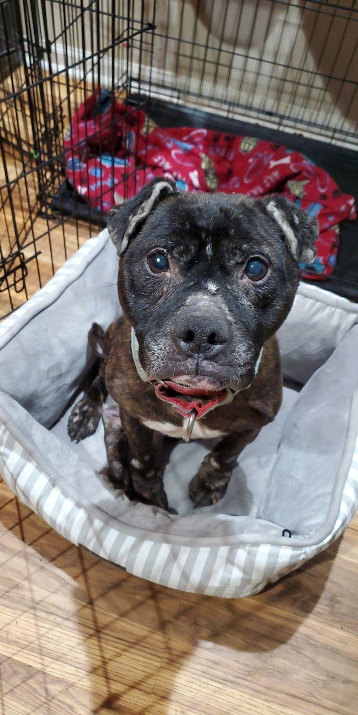 Adopt Rich on American staffordshire, Adoption, Terrier